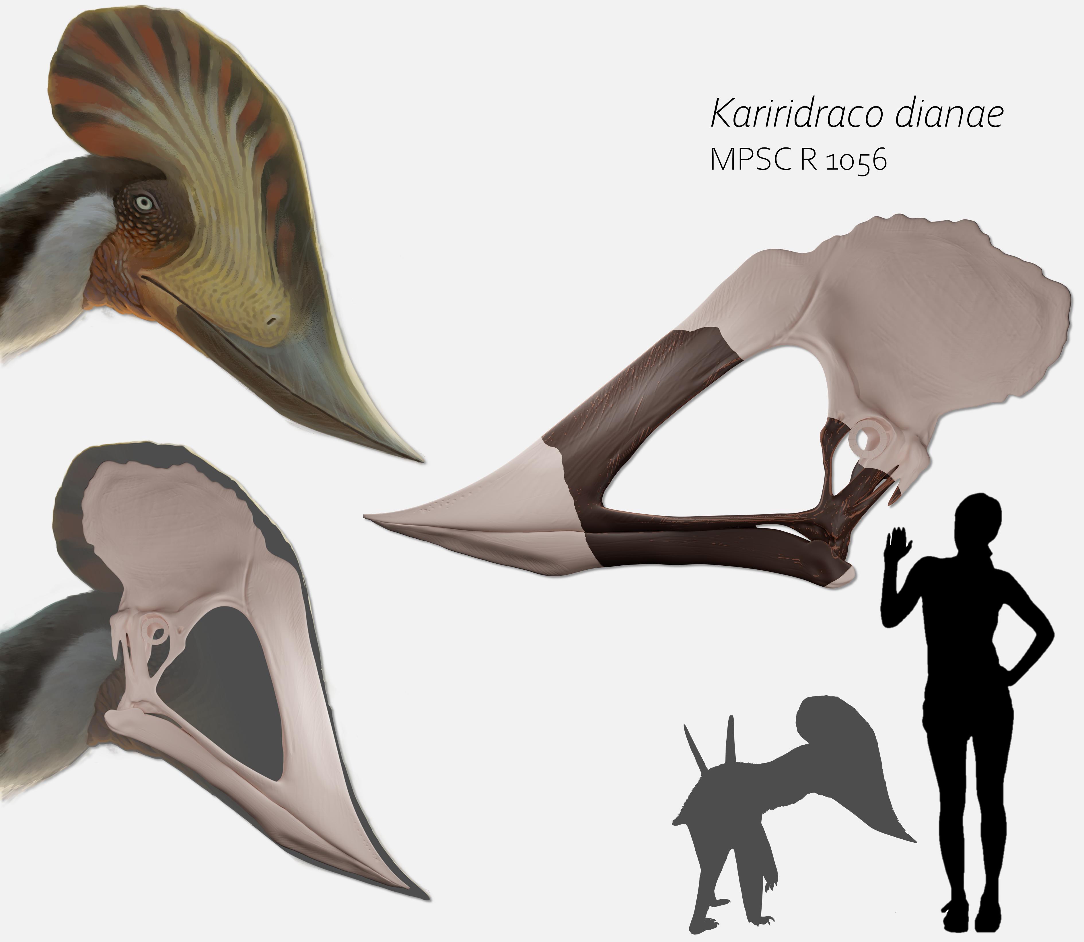 detalhes anatômicos do crânio com crista do kariridraco e comparação de tamanho com uma pessoa, tendo metade da altura